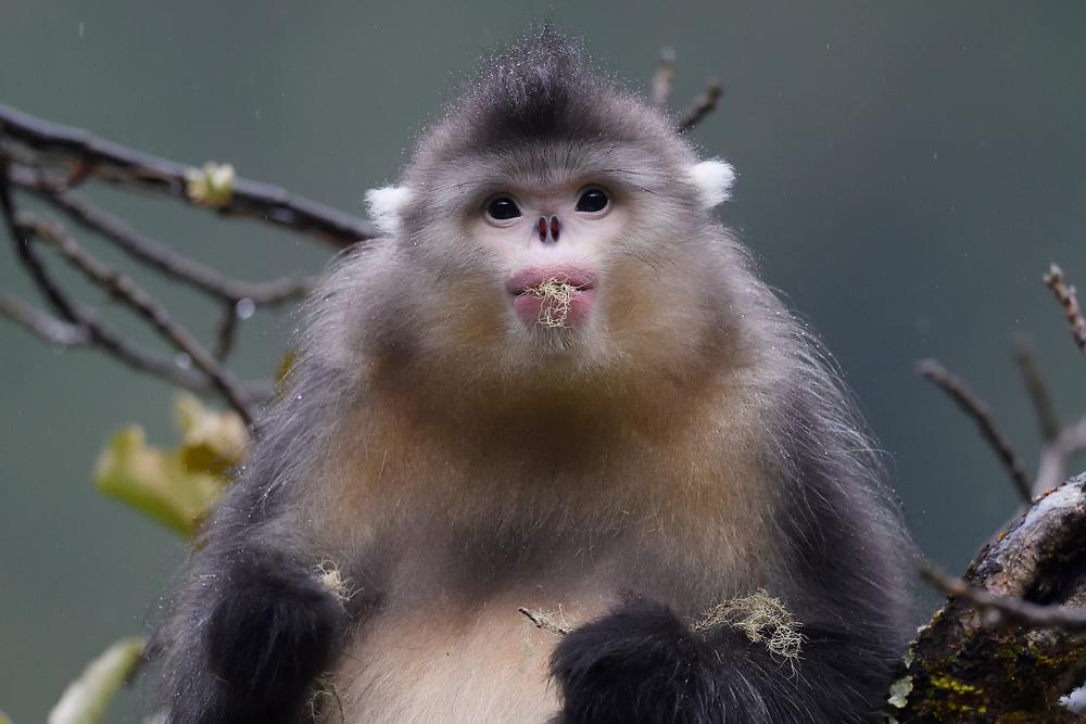 Portrait of a Yunnan, or Black Snub-nosed monkey, Rhinopithecus bieti,  Ta Cheng Nature reserve, Yunnan, China