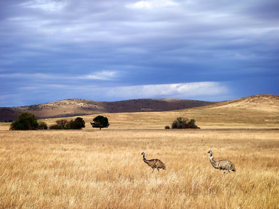 Wild emus near Burra. South Australia.<br /> Photo by Lorenz Berna