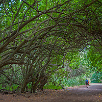 I hiker walks below spreading trees near the North Shore of Oahu, Hawaii.