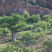 Babob in landscape of Mapungubwe National Park. South Africa in summer. The large tree is a baobab.