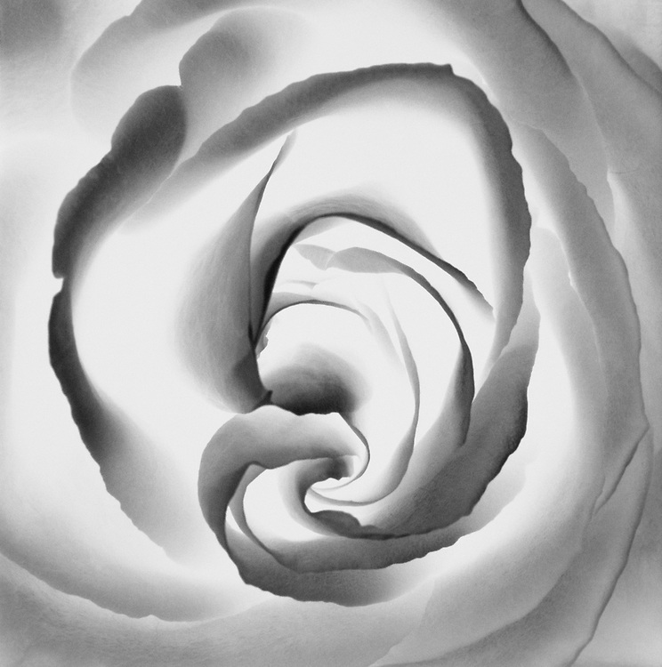 Limited Edition of 35<br /> Reverse Process Silver Print of a Rose Detail.  Sizes 11 x 11, 16 x 16, and 20 x 20 Film original, wet darkroom selenium toned