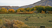 Hay bales in field with fall color trees.