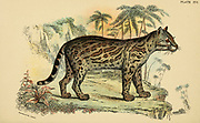 The ocelot (Leopardus pardalis Here as Felis pardalis) is a medium-sized spotted wild cat that reaches 40–50 cm (15.7–19.7 in) at the shoulders and weighs between 8 and 15.5 kg (17.6 and 34.2 lb). It was first described by Carl Linnaeus in 1758. Two subspecies are recognized. It is native to the southwestern United States, Mexico, Central and South America, and to the Caribbean islands of Trinidad and Margarita. It prefers areas close to water sources with dense vegetation cover and high prey availability. From the book ' A handbook to the carnivora : part 1 : cats, civets, and mongooses ' by Richard Lydekker, 1849-1915 Published in 1896 in London by E. Lloyd