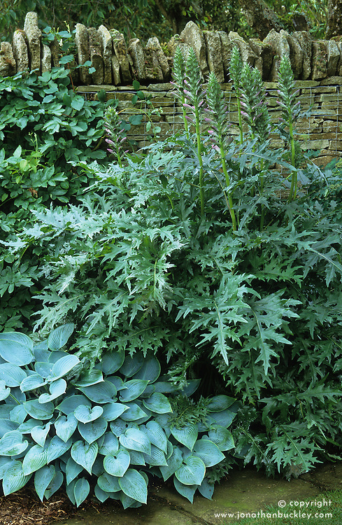Foliage association of Hosta 'Halcyon' with Acanthus spinosus