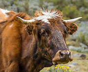 """Brown cow with blond spot and horns. """"How now blond cow."""" Day 5 of 10 days trekking around Alpamayo, in Huascaran National Park, Cordillera Blanca, Andes Mountains, Peru, South America."""