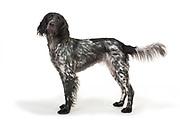 Large Musterlander Dog, Standing, studio, white background