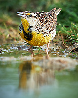 Western Meadowlark (Sturnella neglecta). Campos Viejos, Texas. Image taken with a Nikon D4 camera and 600 mm f/4 VR lens