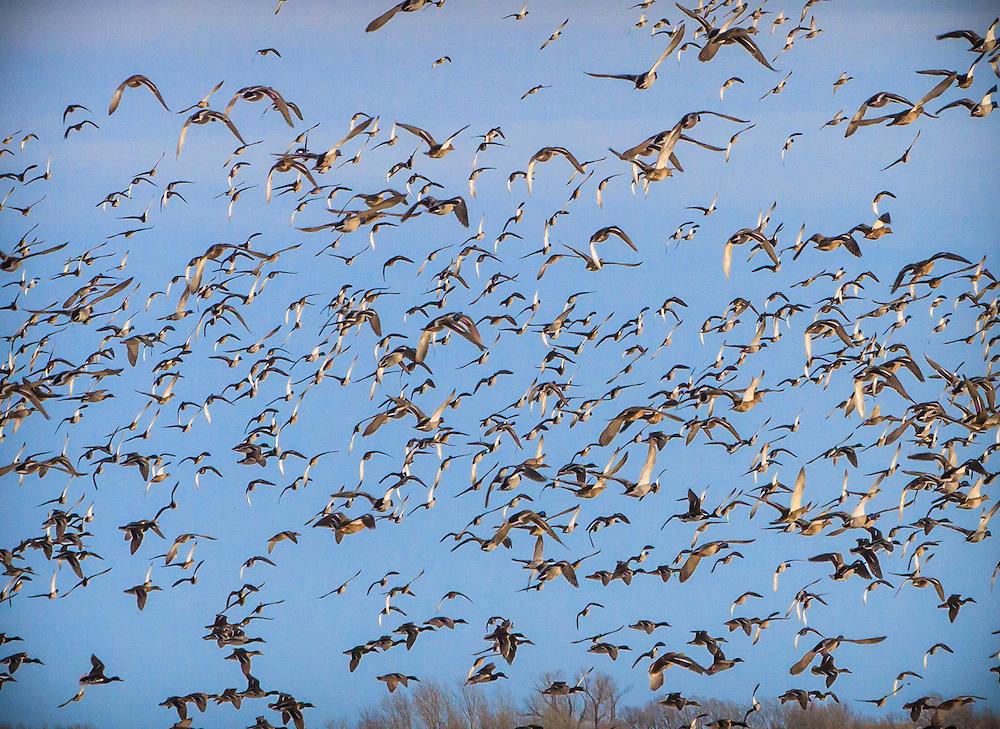 Mallards taking flight