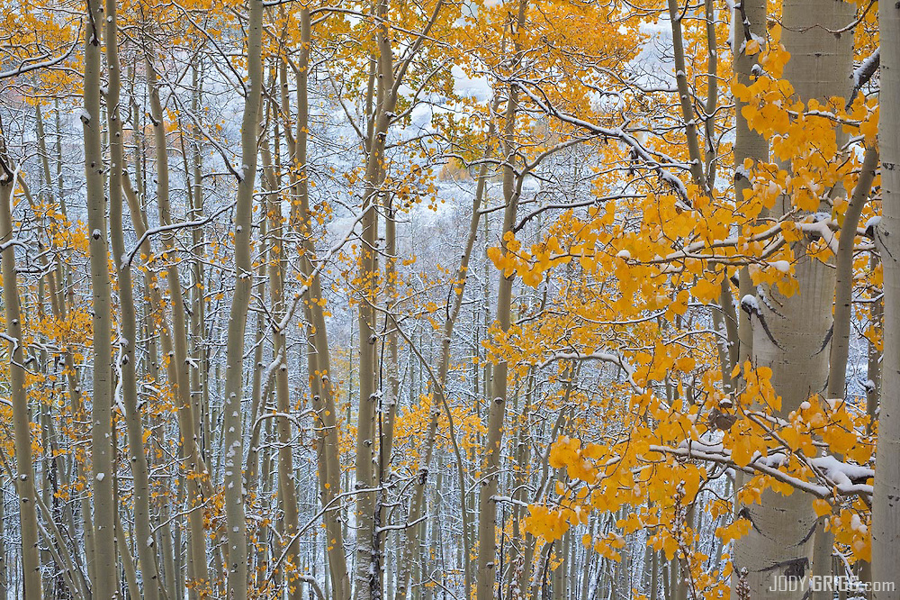 On the flanks of Snodgrass Mountain near Mount Crested Butte, one snowy morning.