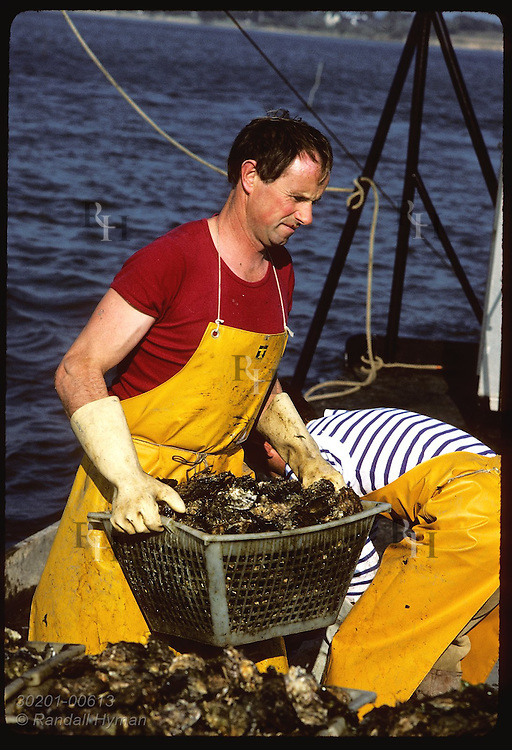 Gildas Audic stacks crate of Japanese oysters aboard dredge boat in Gulf of Morbihan. France