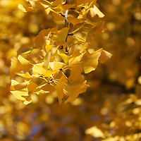 """""""On Our Golden Day"""" <br /> <br /> Gorgeous sunlit Ginkgo leaves in all of their fall glory! Pure Gold!"""