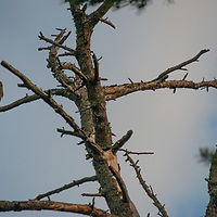 A bald eagle perches in a tree by Lake of the Woods, Ontario, Canada.