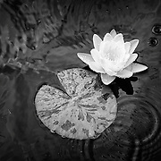 Limited edition photograph of a water lily.