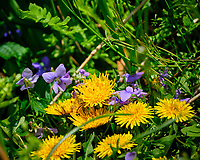 Dandelion and wild Violet flowers. Image taken with a Fuji X-T2 camera and 100-400 mm OIS lens (ISO 200, 400 mm, f/6.4, 1/680 sec).