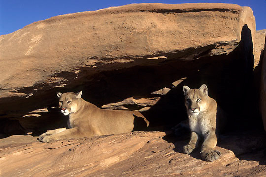 Mountain Lion, (Felis concolor) Pair in canyon lands of Utah.  Red rock country. Captive Animal.