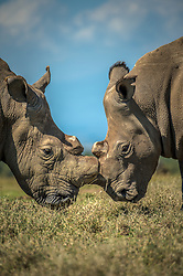 Sudan, the last male northern white rhino, stands at Ol Pejeta Conservancy in northern Kenya. (Photo by Ami Vitale)