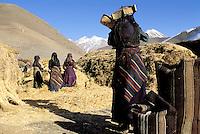 Nepal - Region du Dolpo - Femme recoltant l'orge en habit traditionnel