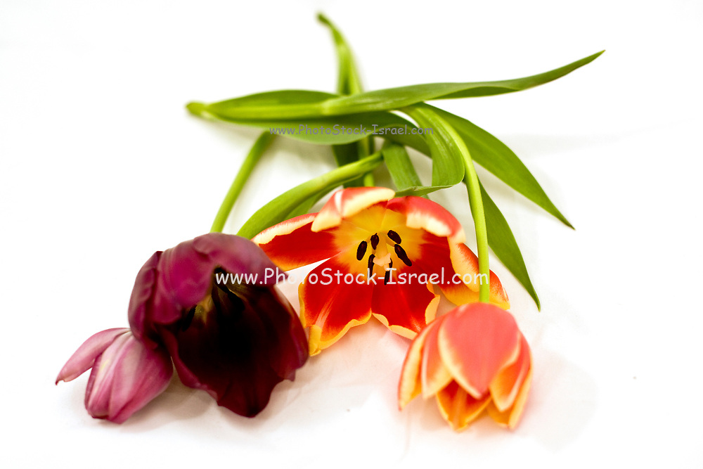 Cutout of tulip flowers on white background