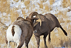 Two Bighorn Sheep Rams battle for the right to sire the next generation.