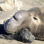 Northern Elephant Seal, (Mirounga angustirostris)  Male biting newborn. California.