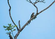 Black-cheeked Woodpecker, Melanerpes pucherani