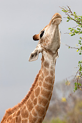 Giraffe (Giraffa camelopardalis), eating leaves from the top of a tree, Kruger National Park, South Africa