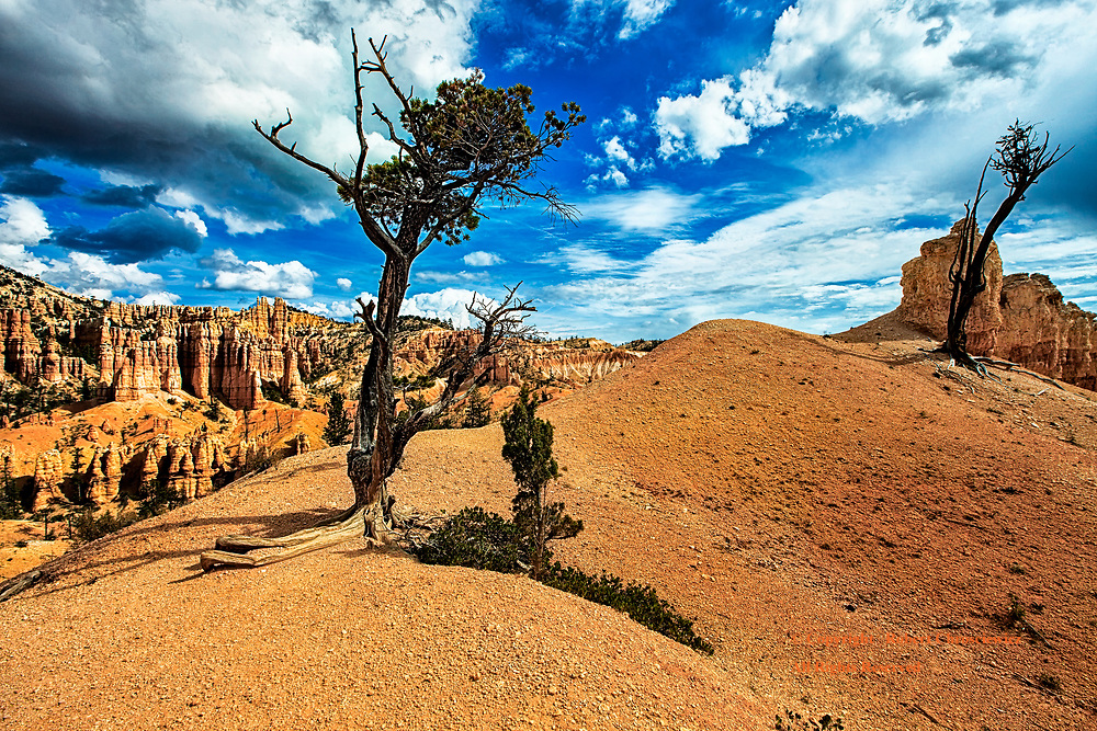 Clinging to Life: Weathered  trees eke out a meagre existence atop an arid barren hilltop, overlooking the Fairyland trail, Bryce National Park, Utah USA.