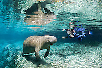 Florida manatee, Trichechus manatus latirostris, a subspecies of the West Indian manatee, endangered. A polite snorkeler with a GoPro camera takes video of a manatee. A series of peaceful passive interaction, observation, with beautiful reflections. Horizontal orientation with mixing blue spring and green waters. Three Sisters Springs, Crystal River National Wildlife Refuge, Kings Bay, Crystal River, Citrus County, Florida USA.
