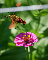Hummingbird Clearwing Moth (Hemaris thysbe) in Flight. Image taken with a Nikon D5 camera and 80-400 mm VRII lens