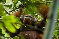 Adult male Bornean Orangutan.<br /><br /><br />Codet