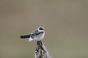 White-winged Swallow juvenile, Tachycintea albiventer, Pantanal, Brazil