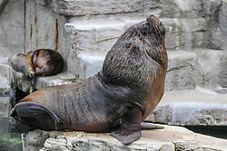 THEMENBILD - Die Mähnenrobbe, auch Südamerikanischer Seelöwe, ist eine südamerikanische Art der Ohrenrobben, aufgenommen am 19.05.2019 im Tiergarten Schönbrunn in Wien, Österreich // The mane seal, also called South American Sea Lion, is a South American species of eared seal, pictured on 2019/05/19 at the Tiergarten Schönbrunn at Vienna, Austria. EXPA Pictures © 2019, PhotoCredit: EXPA/ Lukas Huter