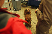 Twiglet the Sussex Spaniel at The133rd Westminister Kennel Club Dog Show Press Conference announcing The Dogue De Bordeaux debut at the Westminister Kennel Club Dog Show held at the Pennsylvania Hotel Sky Top Ball Room on February 5, 2009 in New York City