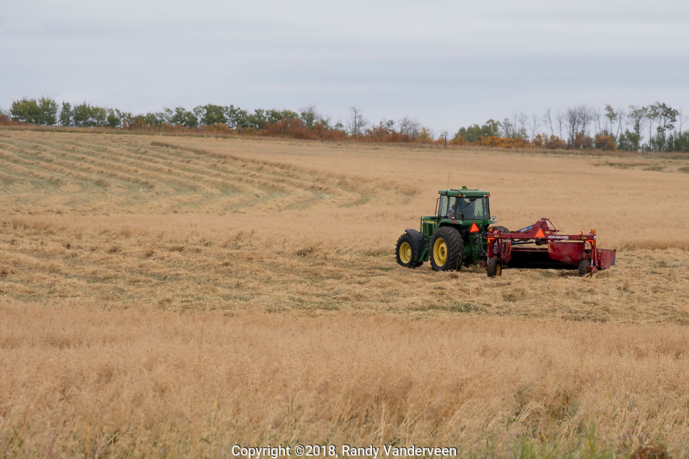 Photo Randy Vanderveen<br /> Grande Prairie, Alberta<br /> 2018-09-26<br /> A farmer cuts down an oat crop in a field east of Beaverlodge Wednesday morning. With wet, cool and possibly snowy weather, farmers are having to be patient a they seek to harvest the 2018 crop.