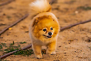 A Pomeranian pedigree dog on the beach at sunset The Pomeranian (often known as a Pom) is a breed of dog of the Spitz type, named for the Pomerania region in Central Europe