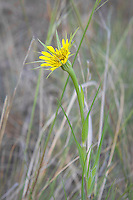 Yellow salsify is a tall, single-flowering non-native European import commonly found in the drier parts of the North America, excluding much of the American Southeast. The flowers are known for their unusual habit of closing in the middle of the day. This one was photographed early in the morning near the banks of the Tieton River, just south of Naches, Washington.