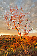 """A leafless Foothill Palo Verde tree (Cercidium microphyllum) catches the last light of the day as sunset approaches in Saguaro National Park outside Tucson, Arizona.  The Foothill Palo Verde is one of the most widespread trees of the Sonoran Desert and, although they may live for several hundred years, they are exceedingly slow-growing and typically only reach a height of 10-15 feet (rarely 25-30 feet have been reported). These trees have a very deep root system and are """"branch deciduous"""" with a tendency to have basal branches die-off during periods of severe drought – thus becoming a smaller tree.  This specimen appears dead, having lost its typical small leaves and its green chlorophyll containing bark which can support photosynthesis when the tree has shed its leaves during excessively dry periods.  Despite these adaptations for survival in the adult tree, the seedlings are susceptible to desiccation during the first few months of their lives with only 1.6% of seedlings surviving.<br /> <br /> This image was taken just before sunset in the Rincon Mountain District of Saguaro National Park immediately adjacent to the narrow, paved, one-way Cactus Forest Drive - a portion of which can be seen in the lower right corner of the photograph.  In the foreground are Prickly Pear Cactus (Opuntia engelmannii).  It had been an unusual cloudy day until just shortly before sunset when the clouds began to dissipate and the sun dropped below the edge of the storm front – bathing the entire landscape in golden light.  The best light lasted literally for less than a minute and I was only able to capture one frame of this scene before the intensity of the spectacle was lost."""