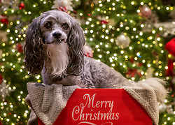 Lhasa Poo Dog with beard in Merry Christmas Box In Front Of The Christmas Tree