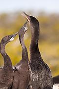 Flightless cormorant (Phalacrocorax harrisi) using regurgitation to feed her young while nesting on Isabela Island, Galapagos Archipelago - Ecuador.