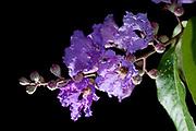 Purple Flower in Rainforest, Panama, Central America, Gamboa Reserve, Parque Nacional Soberania