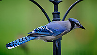 Blue Jay. Image taken with a Fuji X-T3 camera and 200 mm f/2 OIS lens with 1.4x teleconverter.