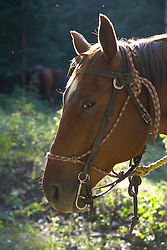 United States, Montana, Livingston,horse in field