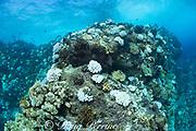 bleached antler coral, Pocillopora edouxi, at Lone Tree Arch, Kohanaiki, Kaloko, Kona, Hawaii Island ( the Big Island ), Hawaii, USA ( Central Pacific Ocean )