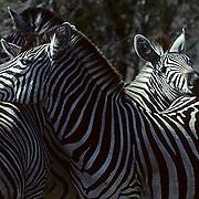Burchell's Zebra, (Equus burchelli) Pair resting together. Kruger National Park. South Africa.