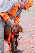 Lee Petersen prepares his Red Setters for a pheasant hunt in North Dakota