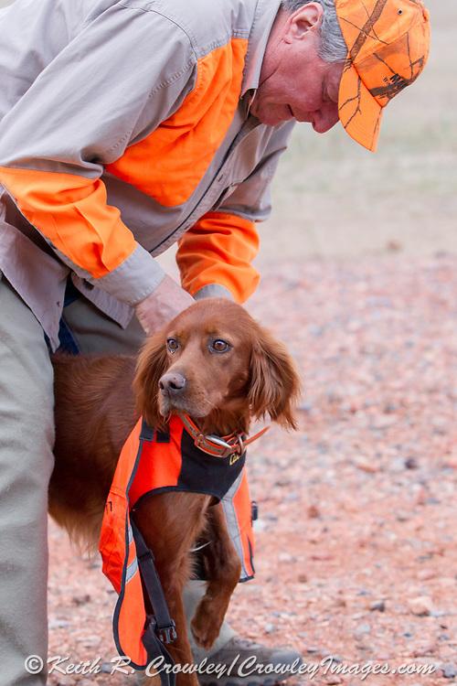 Lee Petersen prepares his Red Setters for a pheasant hunt in North Dakota
