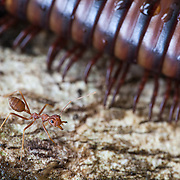 Small ant stands next to giant millipede on the park of a tree, Ulu Muda Forest Reserve, Kedah, Malaysia.