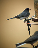 Dark-eyed Junco. Image taken with a Nikon D5 camera and 600 mm f/4 VR lens (ISO 1600, 600 mm, f/4, 1/400 sec)