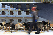Mushers prepare their dogs for the Race to the Sky near Rimini, Montana.