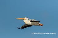 00671-01105 American White Pelican (Pelecanus erythrorhynchos) in flight Clinton Co.  IL
